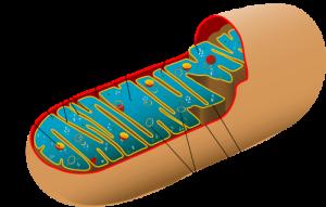 Mitochondrien (schematische Schnittzeichnung)