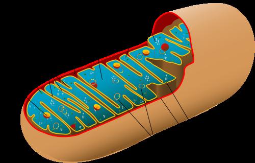 500px-Animal_mitochondrion_diagram_de-CC0-public-by-LadyofHats