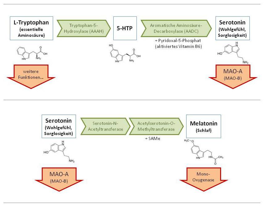 Abb. 1: Entstehung und Abbau von Serotonin im menschlichen Organismus