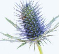 Mariendistel (Blüte)